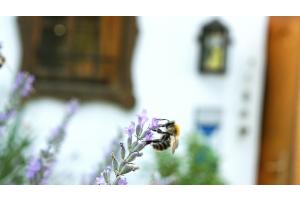 Eine kleine Biene sammelt Nektar und Pollen direkt vor dem Weingut Winkler-Hermaden Weinverkauf.
